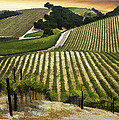 Red Soles Vineyard by Sharon Foster