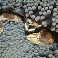 Red-spotted Porcelain Crab Hiding by Mathieu Meur