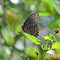 Red Spotted Purple Butterfly by Kathy Gibbons