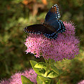 Red Spotted Purple Butterfly On Sedum by Mel Hensley
