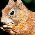 Red Squirrel by Dawn OConnor