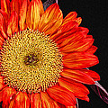 Red Sunflower II  by Saija  Lehtonen