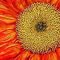 Red Sunflower Iv by Saija  Lehtonen
