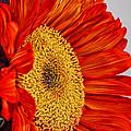 Red Sunflower V by Saija  Lehtonen