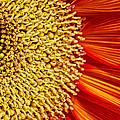 Red Sunflower Viiii by Saija  Lehtonen