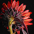Red Sunflower X by Saija  Lehtonen