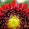 Red Sunrise Dahlia by Susan Herber