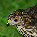 Red Tail Hawk by Dennis Pintoski