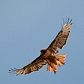 Red Tail Hawk 202-3 by Diana Grant