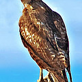 Red Tail Hawk by Robert Bales