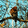 Red Tail Hawk Visitor by Peggy Franz