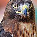 Red-tailed Hawk by Bill Dodsworth
