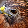 Red-tailed Hawk Close Up by Bill Dodsworth