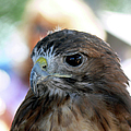 Red-tailed Hawk by Ericamaxine Price