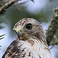 Red-tailed Hawk Has Superior Vision by Travis Truelove