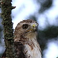 Red-tailed Hawk - Hawkeye by Travis Truelove