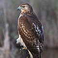 Red-tailed Hawk by Louise Heusinkveld
