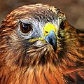 Red-tailed Hawk Portrait by Bill Dodsworth