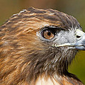 Red-tailed Hawk Portrait by David Freuthal
