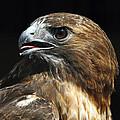 Red-tailed Hawk Portrait by John Van Decker