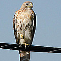Red-tailed Hawk by Shirley Tinkham