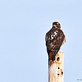 Red-tailed Hawk Surveying The Layout by Edward Peterson