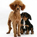 Red Toy Poodle And Cavalier King by Mark Taylor
