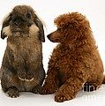 Red Toy Poodle Pup With A Lionhead by Mark Taylor