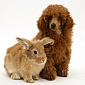 Red Toy Poodle Pup With Lionhead-cross by Mark Taylor