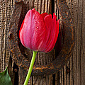 Red Tulip And Horseshoe  by Garry Gay
