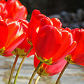 Red Tulip Flowers Art Prints Spring Florals by Baslee Troutman