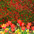 Red Tulip Flowers by Susanna Katherine