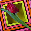 Red Tulip In Box by Garry Gay