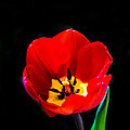 Red Tulip by Robert Bales