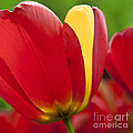 Red Tulips 1 by Heiko Koehrer-Wagner
