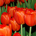 Red Tulips by Aisha Karen Khan