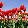 Red Tulips by Kean Poh Chua