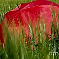 Red Umbrella On The Wheat Field by Mats Silvan