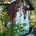 Red Vine Shed by Debbie Portwood