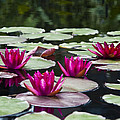 Red Water Lillies by Bill Cannon