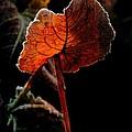 Red Wing by Odd Jeppesen