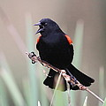 Red-winged Blackbird - Are You Listening by Travis Truelove