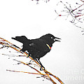 Red Winged Blackbird by Lizi Beard-Ward