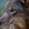 Red Wolf Stare by Karol Livote