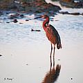 Reddish Egret Basking In The Sunset by Roena King