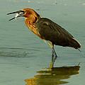 Reddish Egret Caught A Fish by Barbara Bowen