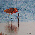 Reddish Egret Checking It Out by Roena King