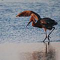 Reddish Egret Doing A Forging Dance by Roena King