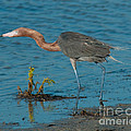 Reddish Egret Hunting by Stephen Whalen