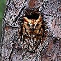 Reddish Screech Owl by Barbara Bowen